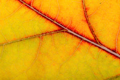 Autumn Oak Leaf Macro Stockbilder