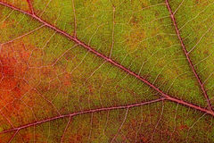 Autumn Oak Leaf Macro Stockbilder