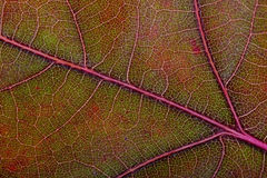 Autumn Oak Leaf Macro Stockfoto
