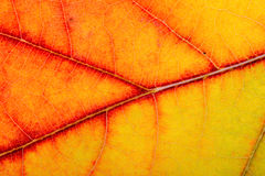 Autumn Oak Leaf Macro Royalty Free Stock Images