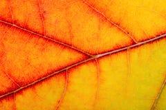 Autumn Oak Leaf Macro Royalty Free Stock Images