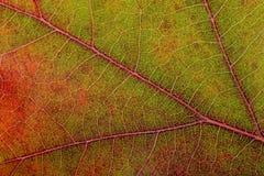Autumn Oak Leaf Macro Stock Images