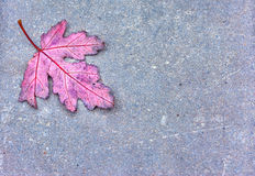 Autumn oak leaf. Red oak leaf against a gray concrete background. The leaf fell out of the tree during the autumn season. It can serve the concepts of change Royalty Free Stock Image