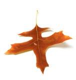Autumn oak leaf Royalty Free Stock Photography