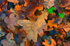 Autumn oak leafage. Abstract natural background Stock Photos