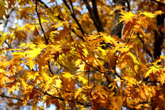 Autumn oak leafs Stock Photography
