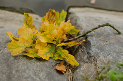 Autumn oak-leafs on the cobbles Stock Photo