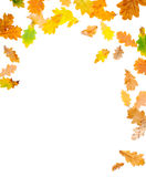 Autumn Oak Leaves. Falling leaves on white background Royalty Free Stock Photo