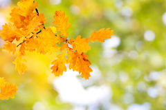 Autumn Oak Leaves. Branch of yellow oak leaves with copy space Royalty Free Stock Images