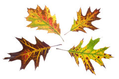 Autumn oak leaves Stock Images