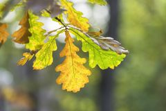 Autumn Oak Leaves royaltyfria bilder