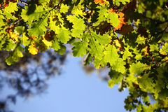 Autumn oak leaves Royalty Free Stock Images