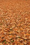 Autumn oak leaves Stock Image