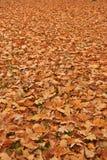 Autumn oak leaves Stock Image