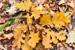Autumn Oak Leaves Lizenzfreies Stockfoto