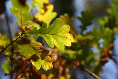 Autumn: oak leaves. Autumn: fall oak leaves #1 Royalty Free Stock Images
