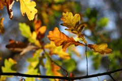Autumn: oak leaves. Autumn: yellow oak leaves #2 Royalty Free Stock Image