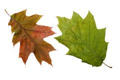 Autumn Oak Leaves Stockfotos