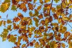Autumn Oak Leaves Imagen de archivo libre de regalías
