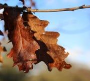 Autumn Oak Leaves Imagem de Stock Royalty Free