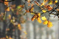 Autumn Oak Leaves Royalty-vrije Stock Fotografie