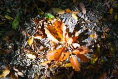Autumn Oak Leaves Immagini Stock Libere da Diritti