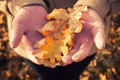 Autumn Oak Leaves Photographie stock libre de droits