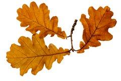 Autumn Oak Leaves Royaltyfria Bilder