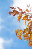 Autumn Oak Leaves Abstract Royalty Free Stock Photos