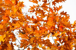 Autumn oak leaves with acorns against the bright sky Royalty Free Stock Photos