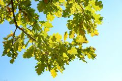 Autumn oak leaves against blue sky at sunny day. Stock Photography