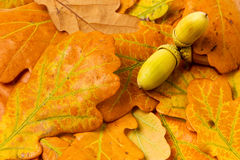 Autumn oak leaves background Stock Photos
