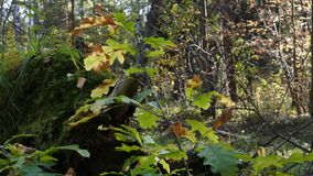 Autumn oak leaves on the background of sunny woods. The farewell rays of sun are illuminating oak leaves, which are becoming brown. It`s so pity that the summer stock video footage