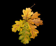 Autumn oak leaves on a black background Royalty Free Stock Images