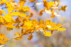 Autumn oak leaves Stock Photography