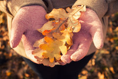 Autumn oak leaves Royalty Free Stock Photography