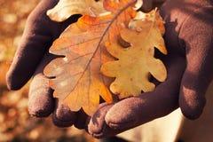 Autumn oak leaves Royalty Free Stock Photo