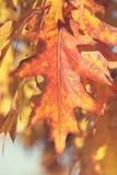 Autumn Oak Leaves, close up Stock Images