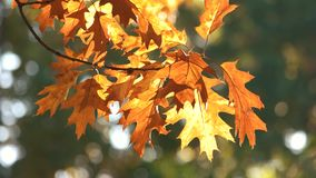Autumn oak leaves, close up. Waving oat tree branch stock video footage