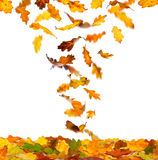 Autumn oak leaves. Falling autumn color oak leaves isolated on white background stock illustration