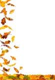 Autumn oak leaves. Falling autumn colored oak leaves isolated on white background royalty free illustration