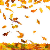 Autumn oak leaves. Falling autumn colour oak leaves isolated on white background vector illustration
