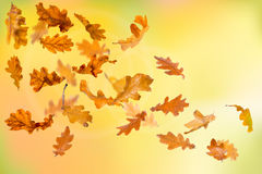 Autumn oak leaves falling Royalty Free Stock Images