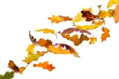 Autumn oak leaves. Falling autumn oak leaves isolated on white background stock illustration