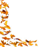 Autumn oak leaves. Falling autumn oak leaves, isolated on white background vector illustration