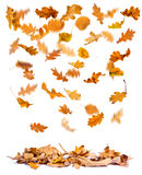 Autumn oak leaves falling Royalty Free Stock Photo