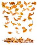 Autumn oak leaves falling royalty free stock photo