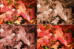 Autumn oak leaves in four variants Stock Photos