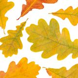 Autumn oak leaves isolated on white Stock Images
