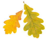Autumn oak  leaves isolated on white Stock Image